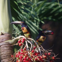 Aracari toucans sitting in our field camp